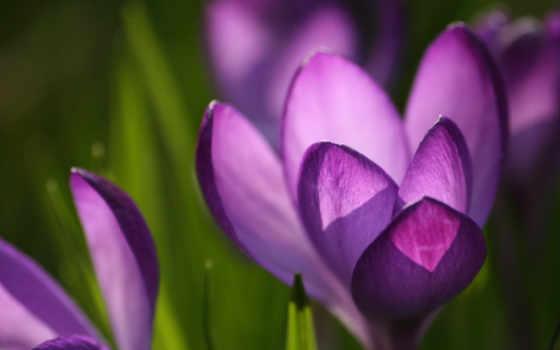 фиолетовый, заставки, цветы, зев,