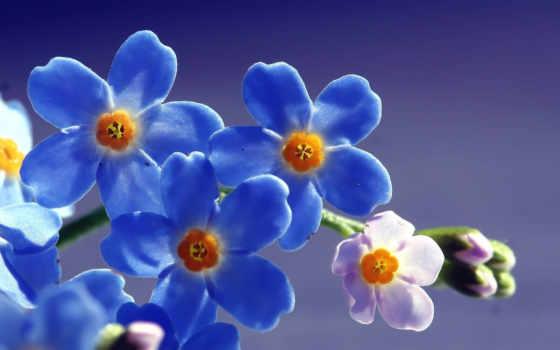 незабудки, цветы, качестве
