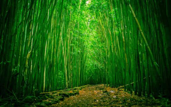 лес, бамбук, hawaii