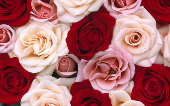 розовый, white, роза