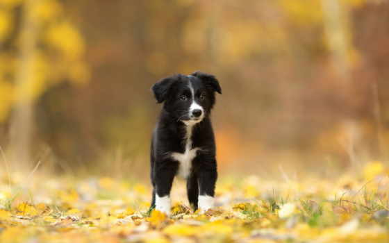 psy, zhivotnye, pies, лес, колли, border, страница, красивые,