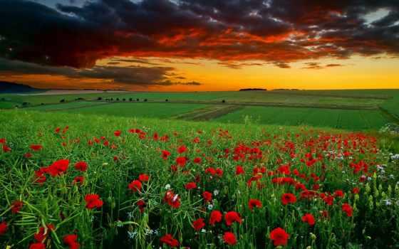 поле, маки, разных, разрешениях, ярких, красные, цветов, закате, маковое, oboi,