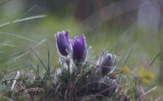 цветы, anemone, заставка, purple, paten, айфон, flora, pasqueflower, hoa, весна