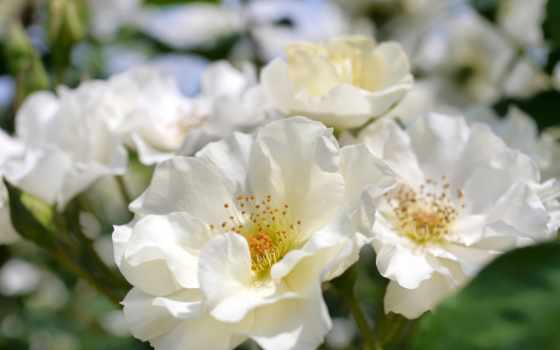 розы, cvety
