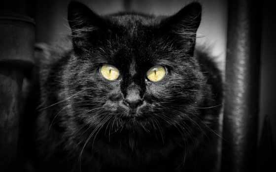 kot, чёрный, картинку