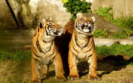 тигры, природа, iphone, дуэт,