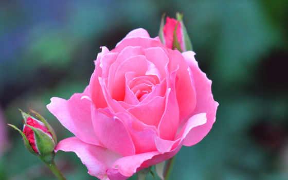desktop, роза, розовый
