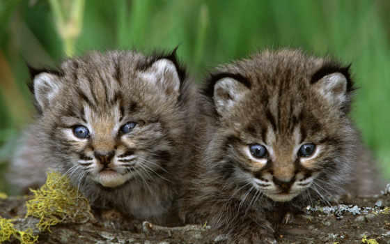 животные, кошки, детеныши