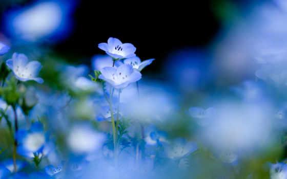 цветы, природа, голубые