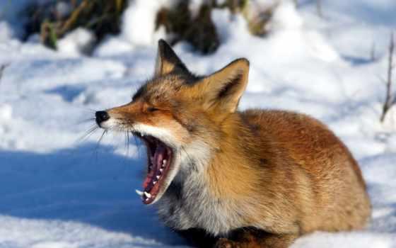 фокс, зевает, лисы