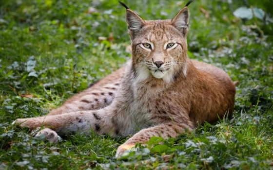 рысь, телефон, кот, большая, трава, хищник, красивый, лес, browse, страница,
