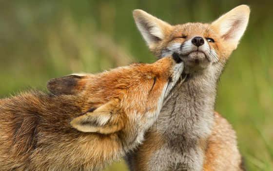 лисы, фокс, спящая, лис, фотографий, диких, фотограф, прикарпатье, природа, довольно, животных,