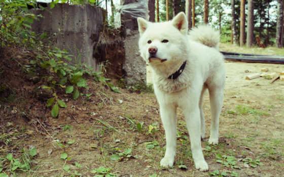 акита, природе, собаки, порода, собака, white, яndex,