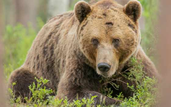 медведь, браун, бурые, красивые, медведи,