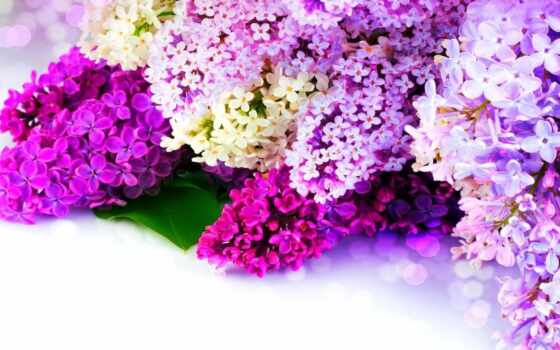 сиреневый, коллекция, white, cvety, multicolored, purple, flare, card