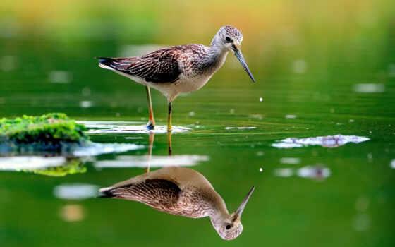 отражение, вода, птица