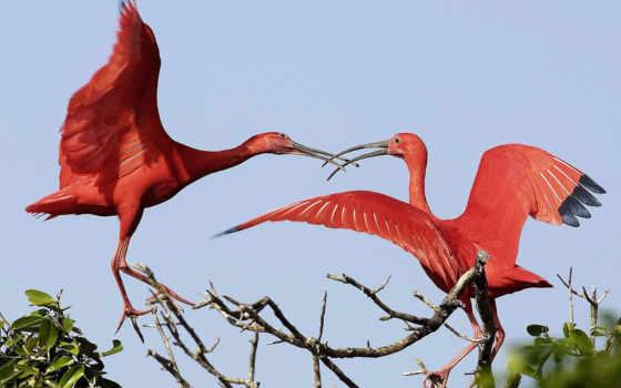 красные, ибисы, птицы, траве,