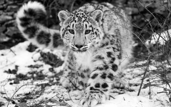 ecran, fonds, neiges, des, леопард, fond, снег, animaux,