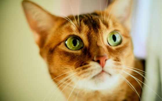 кот, рыжая, глазами, зелёными, коты, вики, воители, powered, fandom,