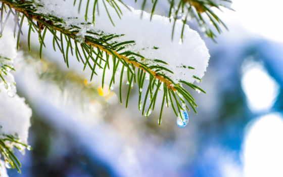природа, макро, снег, росток, категория, abeto,