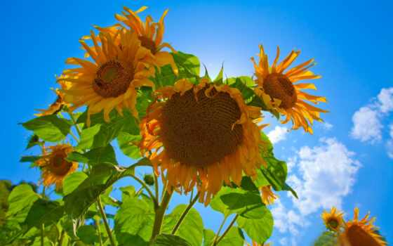 sunflowers, best
