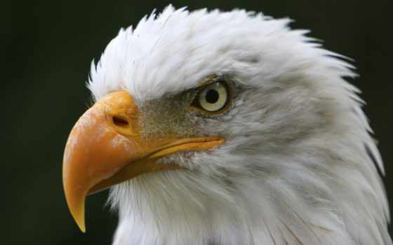 орлан, американский, глаза, птиц, стили,