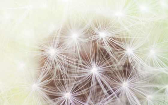 одуванчик, blowball, top, доступ, bars, desktop, цветы,