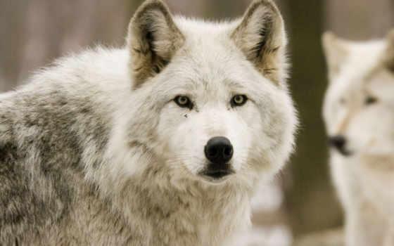 волк, волки, zhivotnye, белые, full, фоны, лес, хищник,
