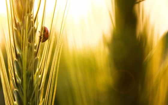 ladybug, desktop, коровка, божья, free, природа, пшеница, дерево, mac,