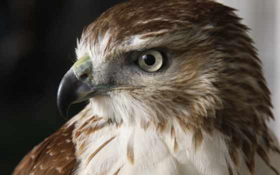 птица, falcon, birds