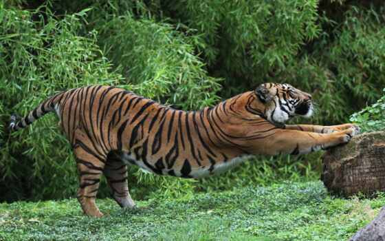 тигр, animal, кот
