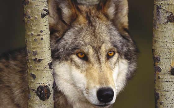 волки, волк, волков Фон № 36451 разрешение 1920x1080