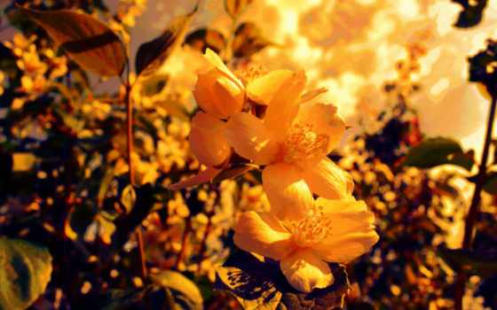 yellow, flowers, фон
