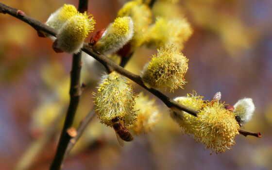 верба, tape, растение, branch, весна,