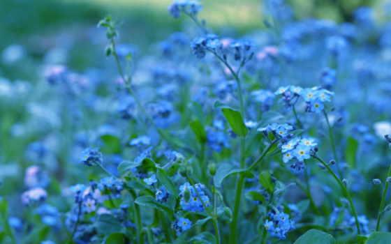 cvety, голубые, синие, незабудки, растения, макро,