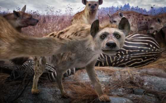 wilhelm, jon, животных, но, hyena, днем, специалистом, ночью, который,