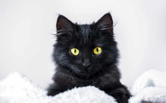 pisicus, negre, alb, фото, pisica, pisicile, card, вектор, sunt, frank, кот