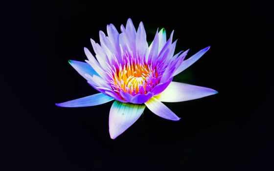 цветок, fon, zastavka, чёрный, bordovyi, сиреневый, песочница, чёрн, крупный, красный, plan