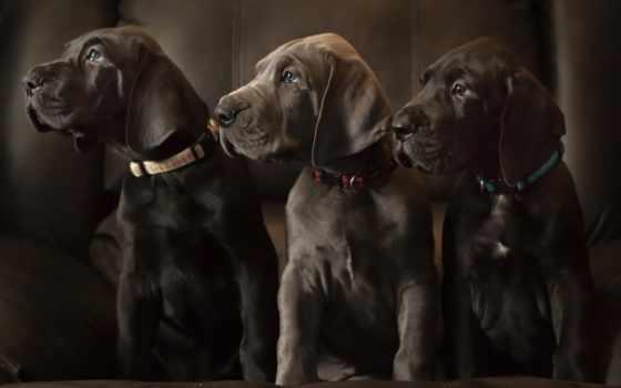 щенки, лабрадоры, retriever, собак, изображение, şih, золотистый, собаки, пород, самых, labrador,