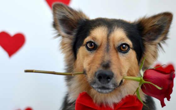 собака, роза, красной