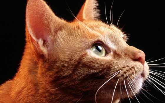 кот, red, глазами, зелёными, fone, черном,