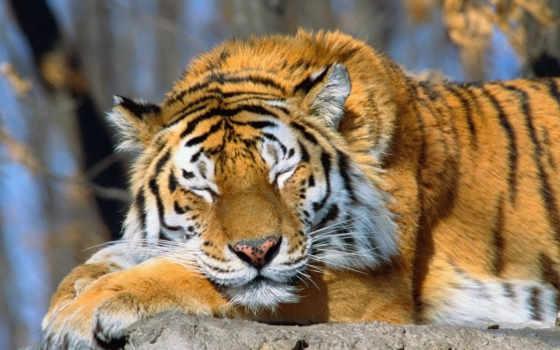 хороший, тигр, animals, confession, sleeping, soul,
