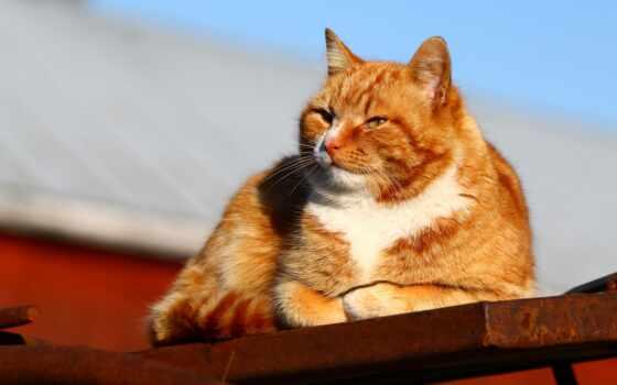 кот, red, крыша, свет, blue, ложь, солнечный, морда