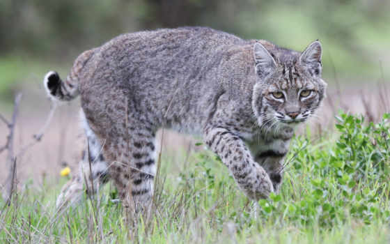 bobcat, рысь, california, linces,