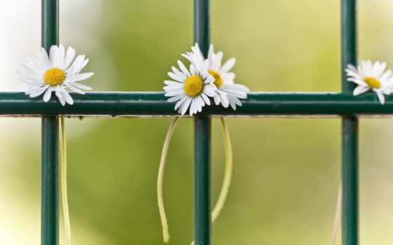 ромашки, gulu, ramaska, заборе, facebook, ramawka, широкоформатные, цветы,