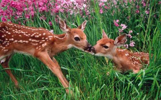 zhivotnye, оленя, олени, поцелуй, оленята, лань, янв,