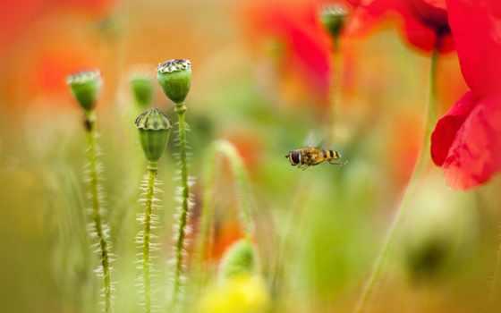 цветки, маки, пчелка, мак,