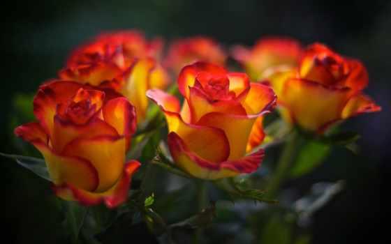 розы, роз, красные