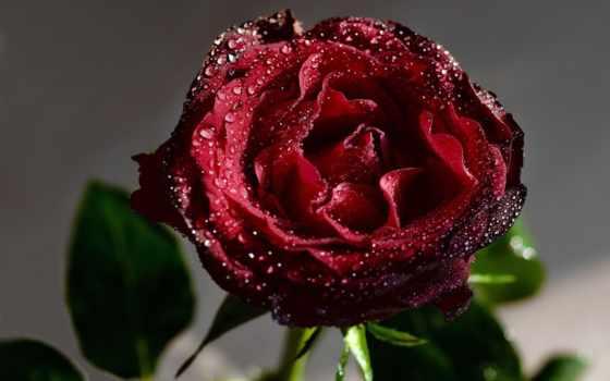 цветы, капли, роза