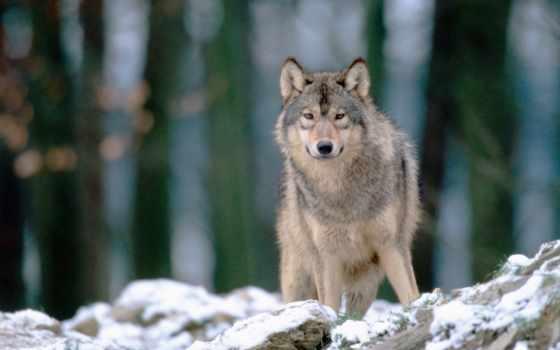 волк, волки, волк